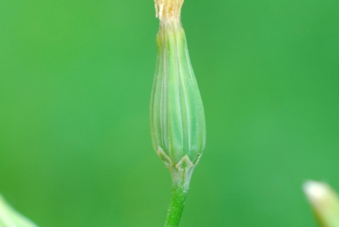 Crepis pulchra 39