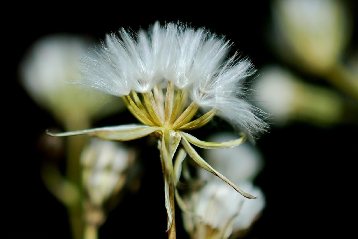 Crepis pulchra 40