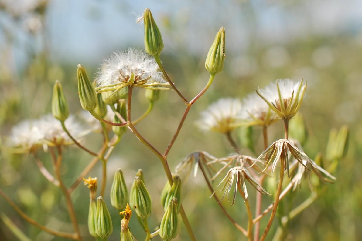 Crepis pulchra 41