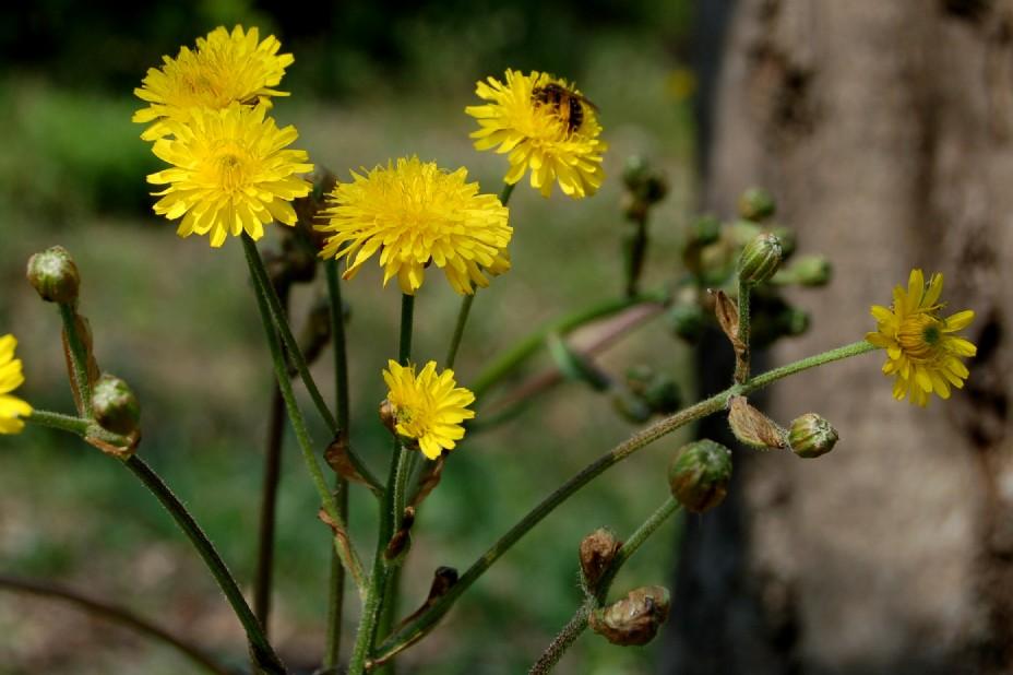Crepis vesicaria subsp. vesicaria