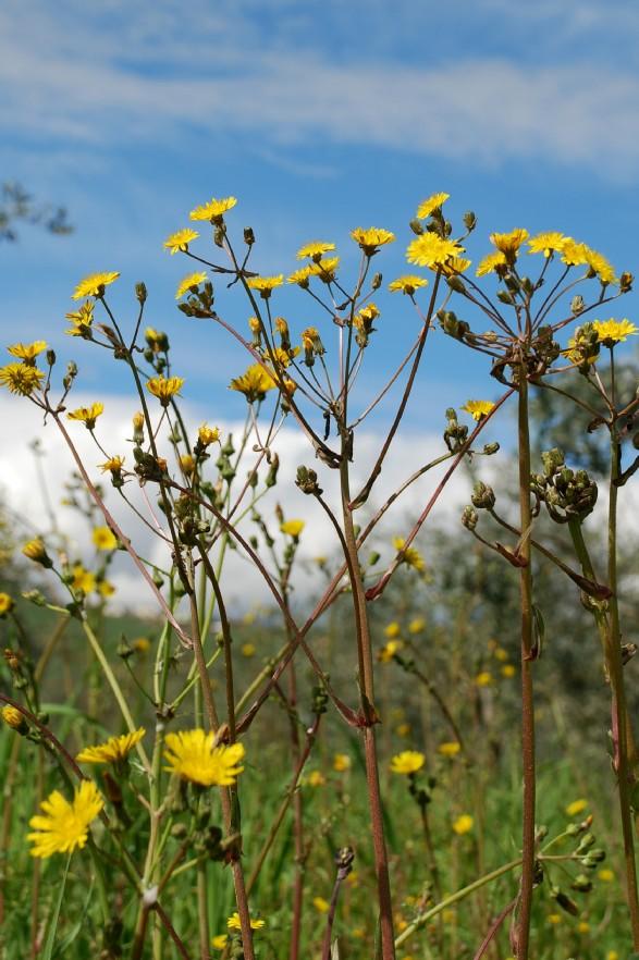Crepis vesicaria subsp. vesicaria 11