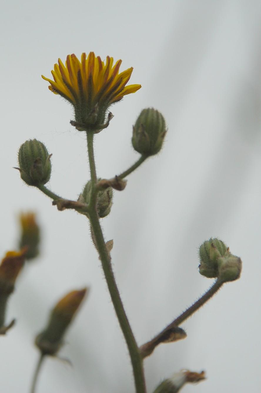 Crepis vesicaria subsp. vesicaria 12