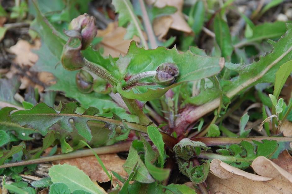 Crepis vesicaria subsp. vesicaria 15