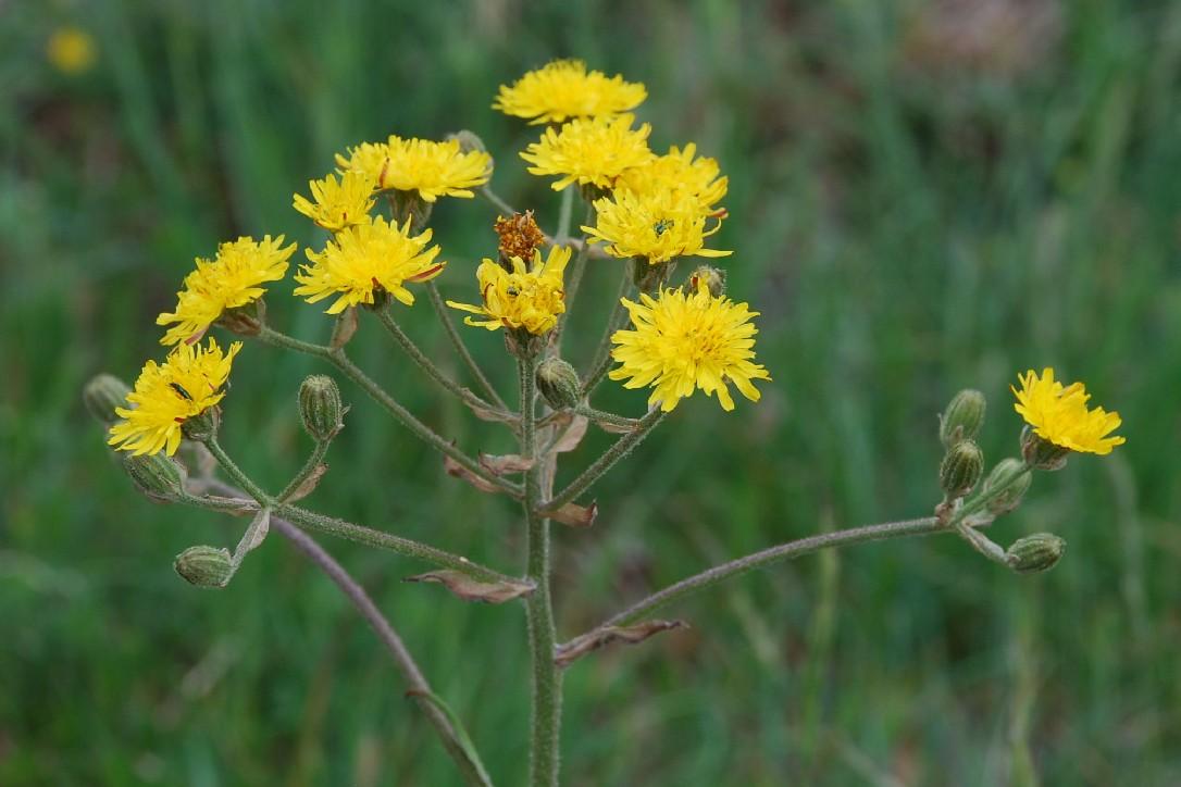 Crepis vesicaria subsp. vesicaria 16