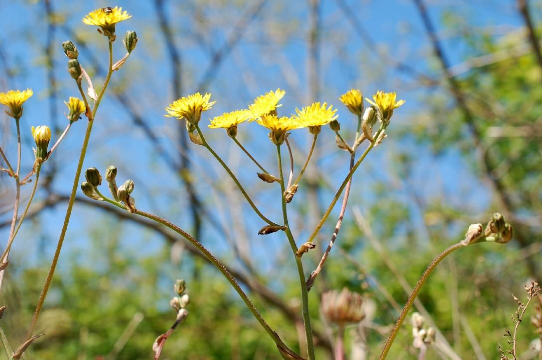 Crepis vesicaria subsp. vesicaria 23