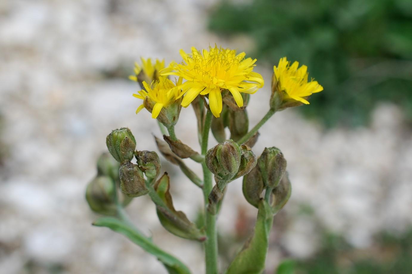 Crepis vesicaria subsp. vesicaria 26