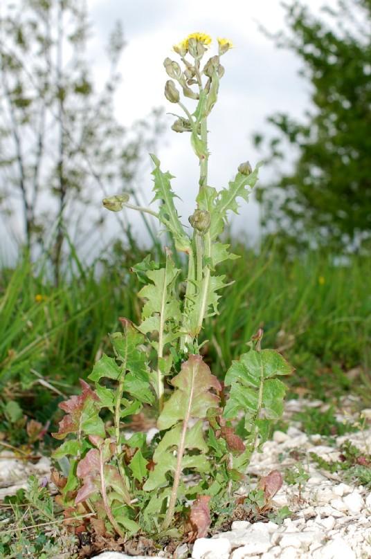 Crepis vesicaria subsp. vesicaria 27