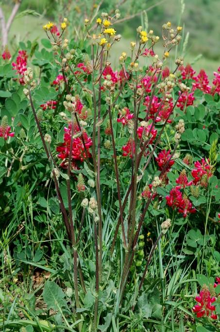 Crepis vesicaria subsp. vesicaria 3