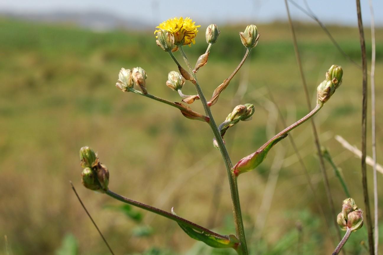 Crepis vesicaria subsp. vesicaria 6