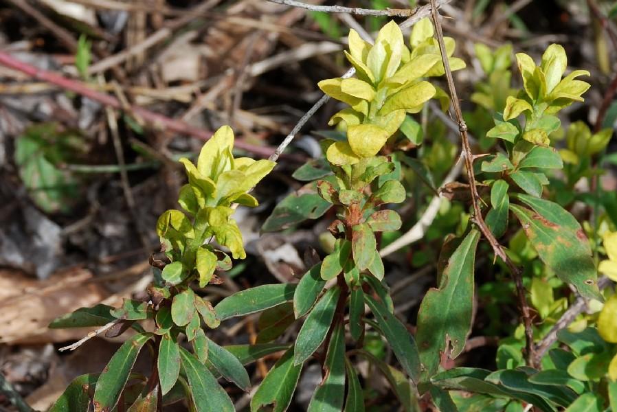 Crescita anomala su Euphorbia amygdaloides