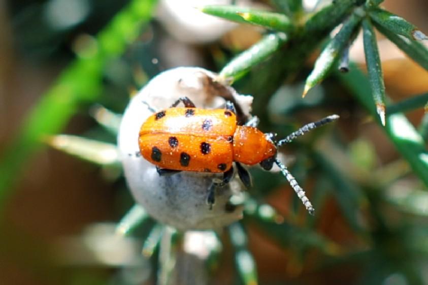 Crioceris duodecimpunctata - Chrysomelidae