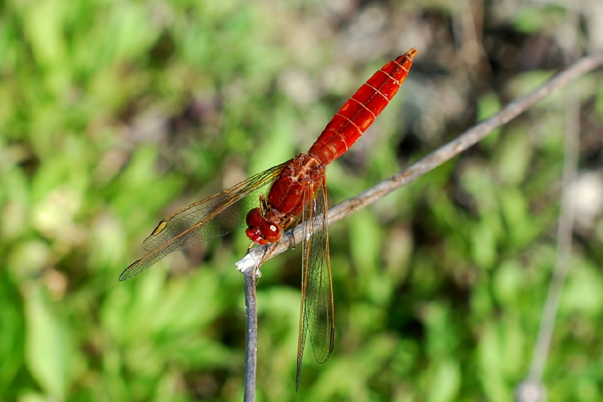 Crocothemis erythraea - Libellulidae