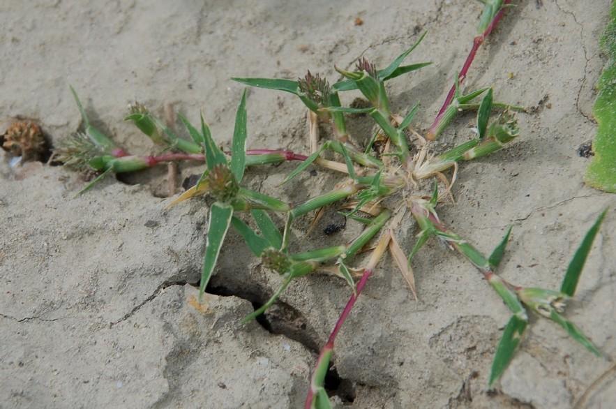 Crypsis schoenoides 25