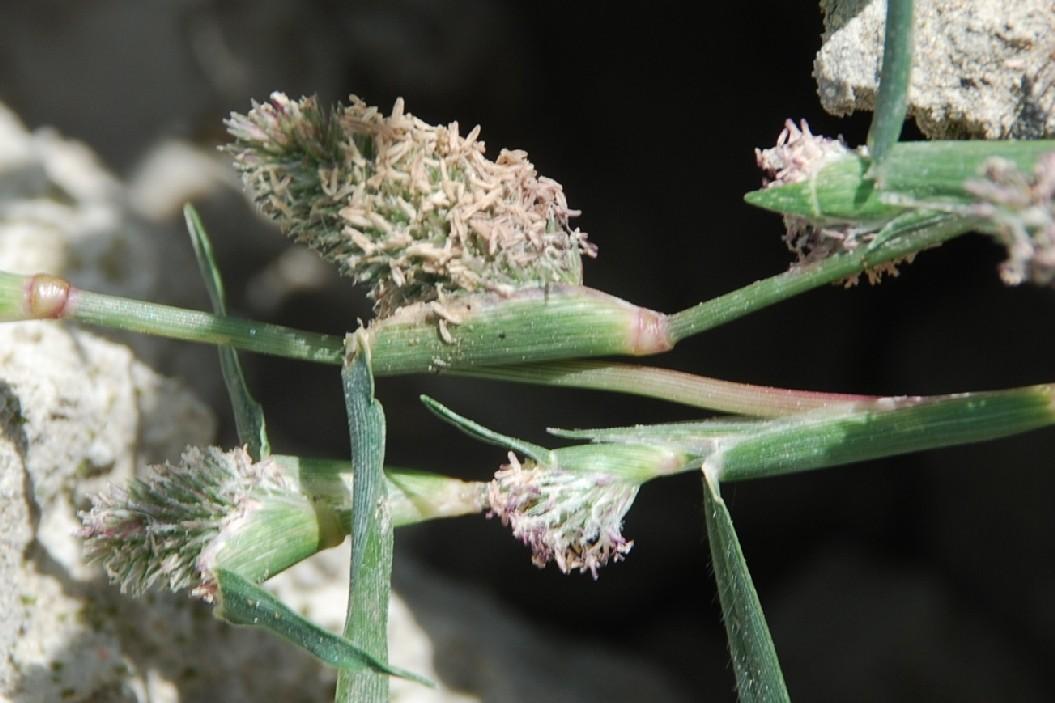 Crypsis schoenoides 28