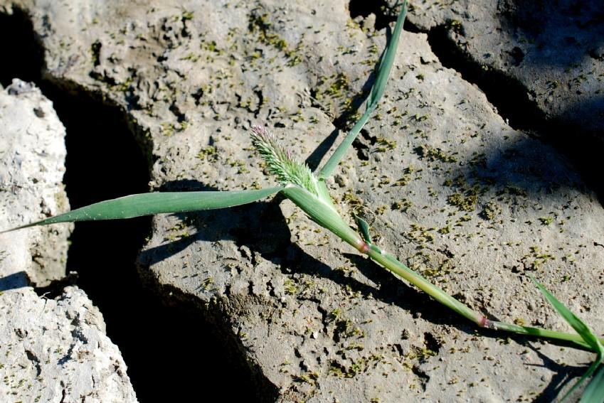 Crypsis schoenoides 35