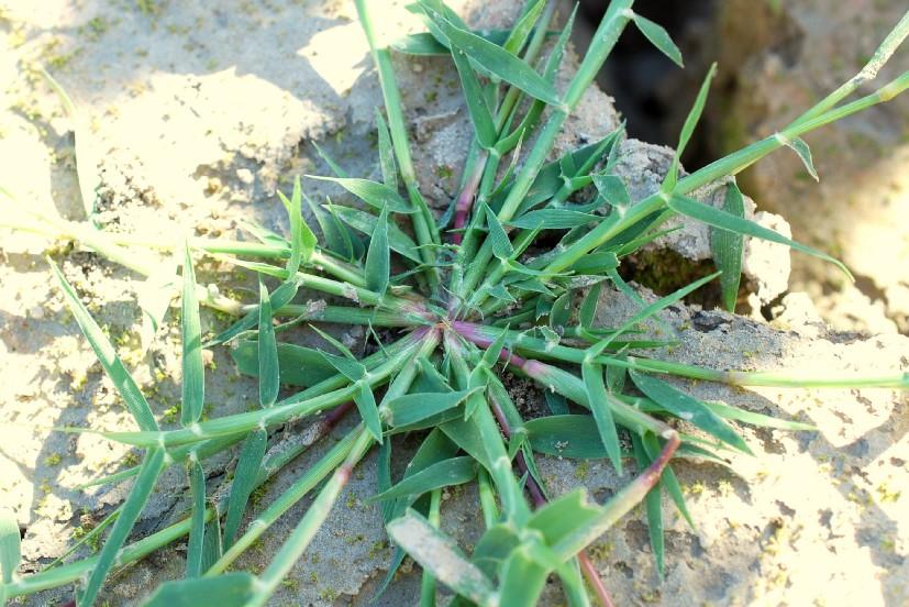 Crypsis schoenoides 36