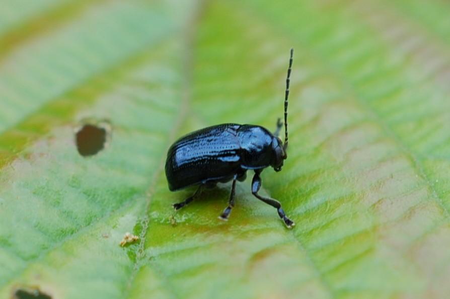 Cryptocephalus - Chrysomelidae