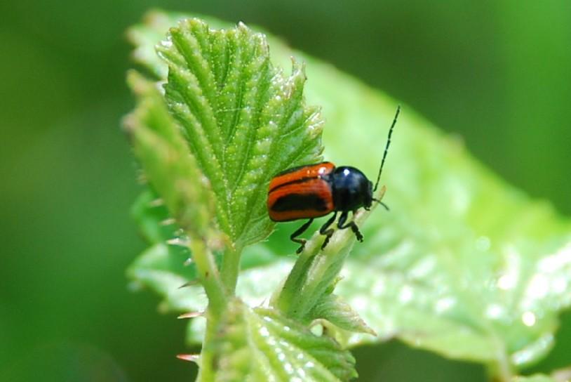Cryptocephalus bipunctatus - Chrysomelidae
