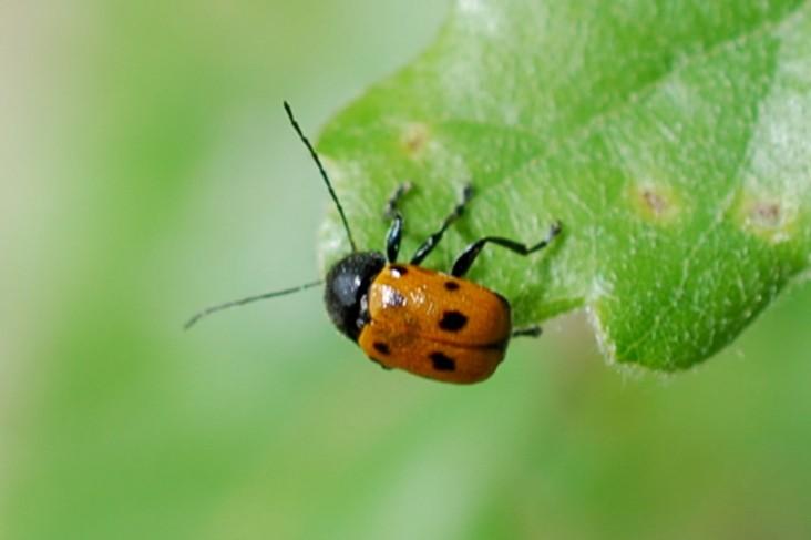 Cryptocephalus etruscus - Chrysomelidae