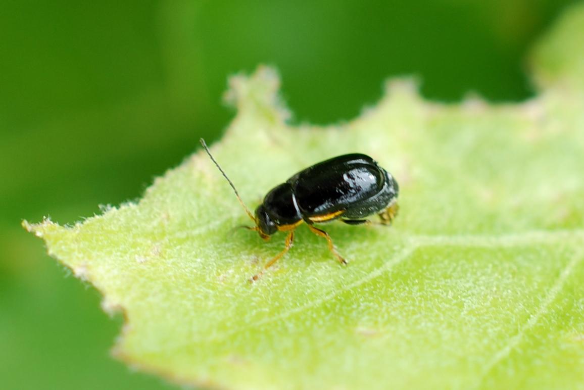 Cryptocephalus flavipes - Chrysomelidae