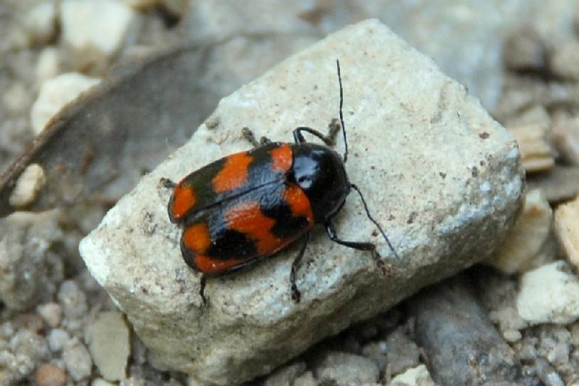 Cryptocephalus loreyi - Chrysomelidae