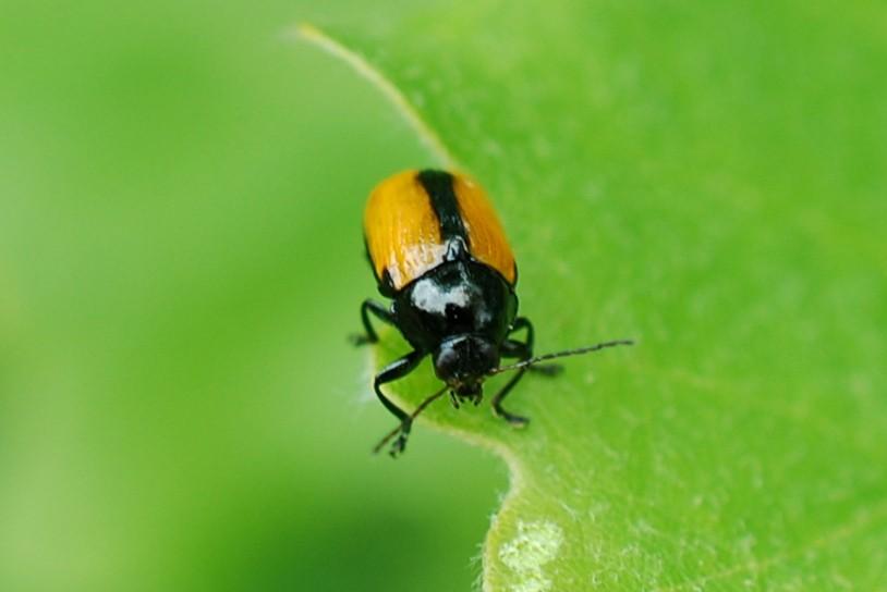Cryptocephalus marginatus - Chrysomelidae