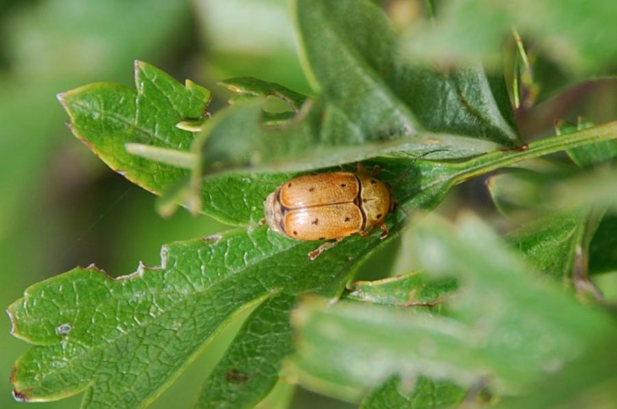 Cryptocephalus octomaculatus - Chrysomelidae