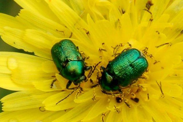 Cryptocephalus sp. - Chrysomelidae