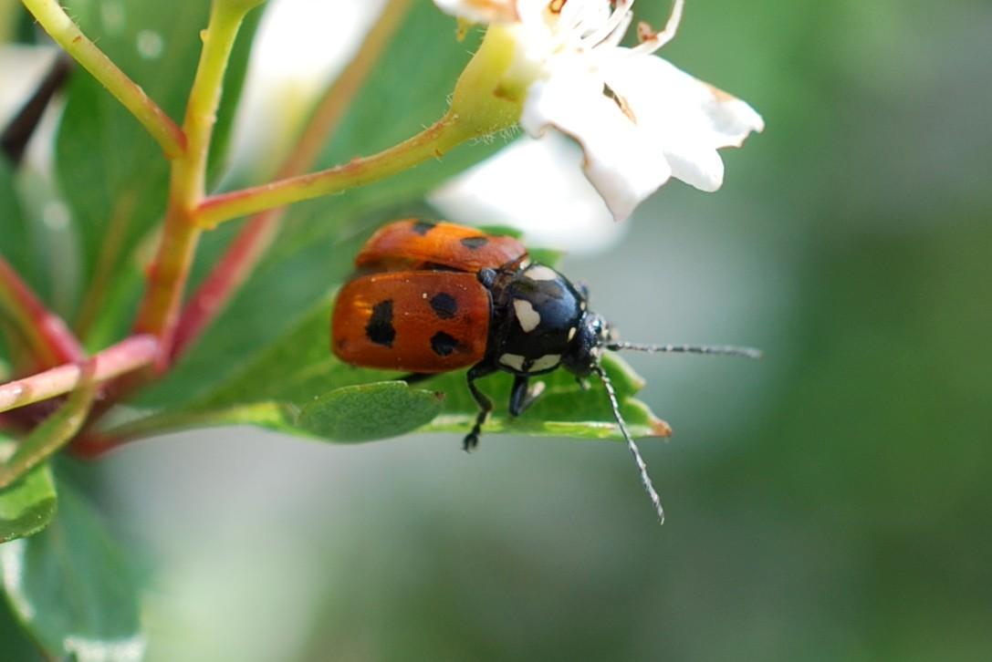 Cryptocephalus tricolor - Chrysomelidae