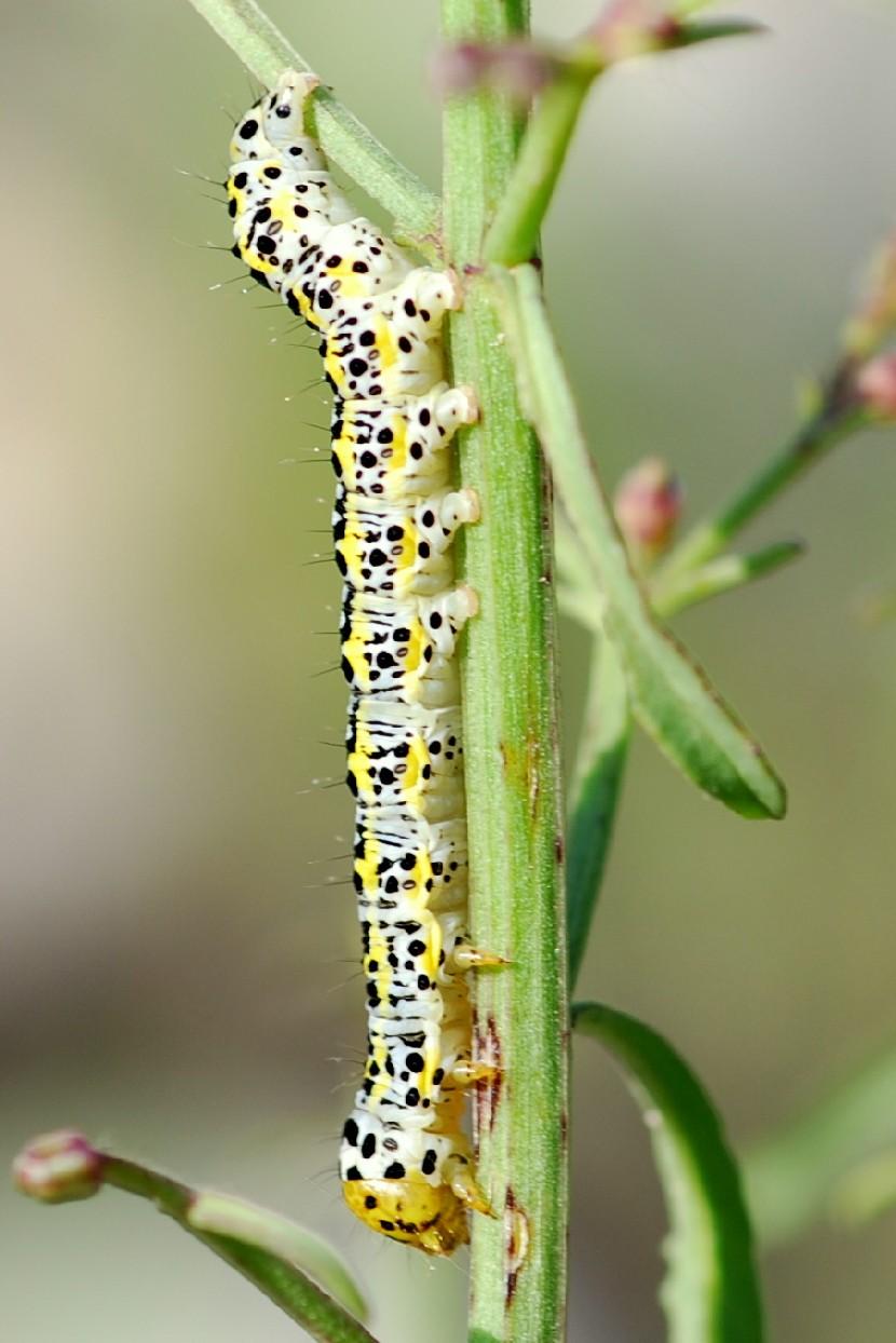 Cucullia (Shargacucullia) blattariae - Noctuidae