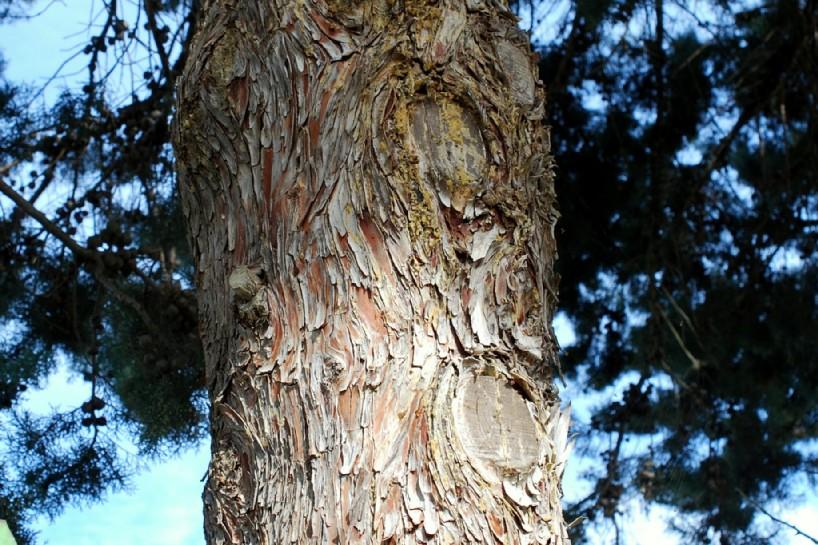 Cupressus arizonica 11
