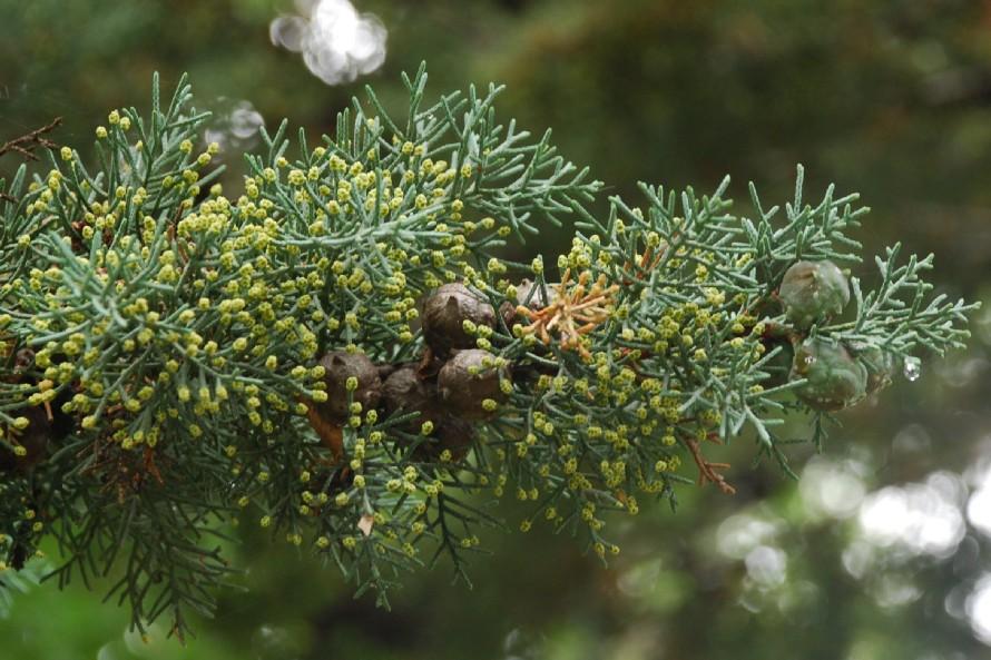 Cupressus arizonica 2