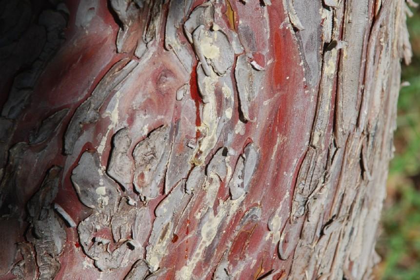 Cupressus arizonica 7
