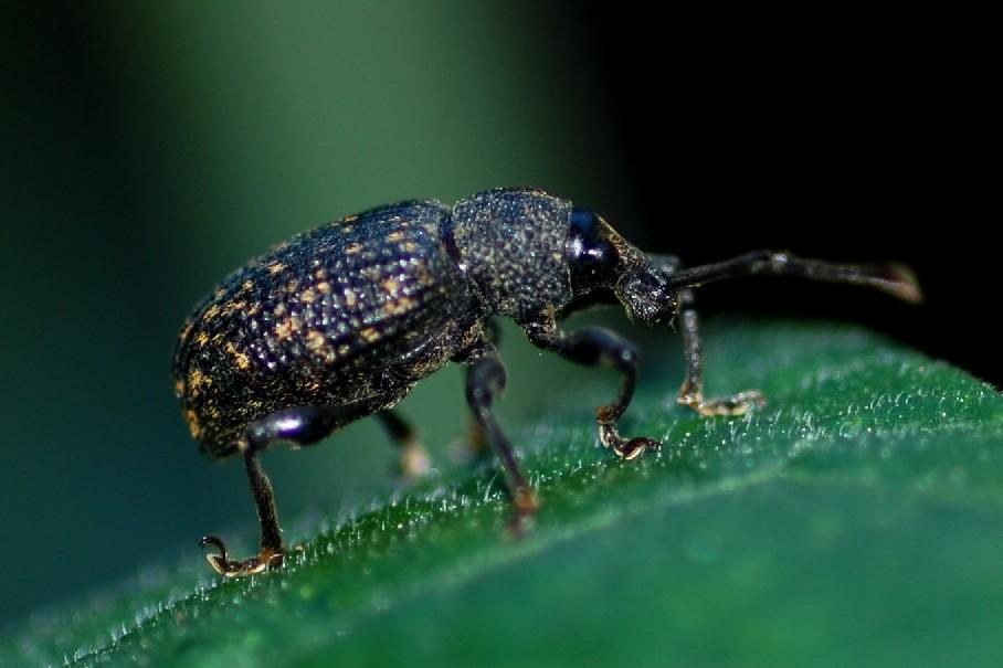 Curcolionidae