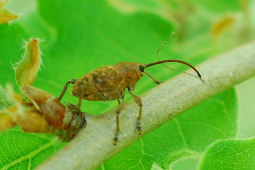 Curculio sp. - Curculionidae