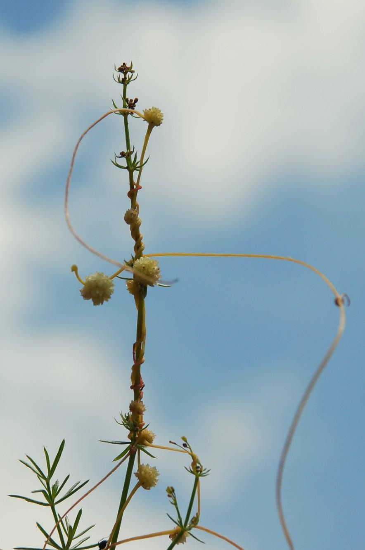 Cuscuta planiflora 2