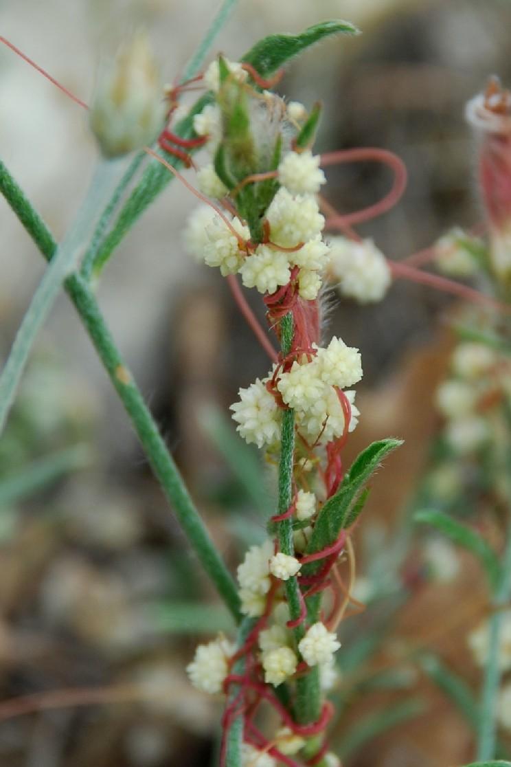 Cuscuta planiflora 5