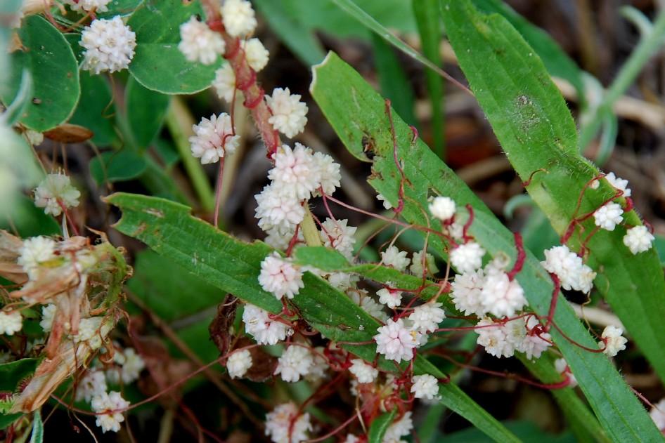 Cuscuta planiflora 6