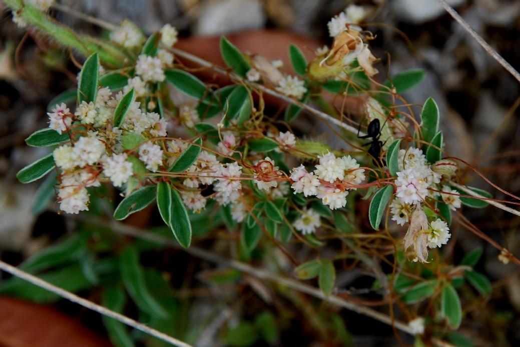 Cuscuta planiflora 7