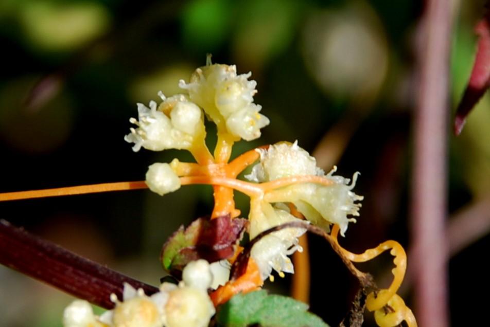 Cuscuta scandens subsp. cesatiana