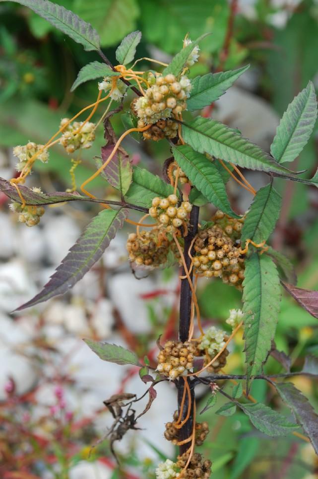 Cuscuta scandens subsp. cesatiana 11
