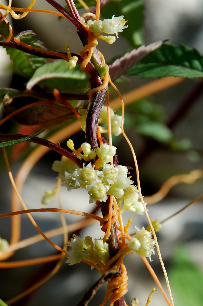 Cuscuta scandens subsp. cesatiana 2