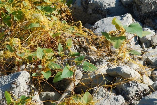 Cuscuta scandens subsp. cesatiana 5