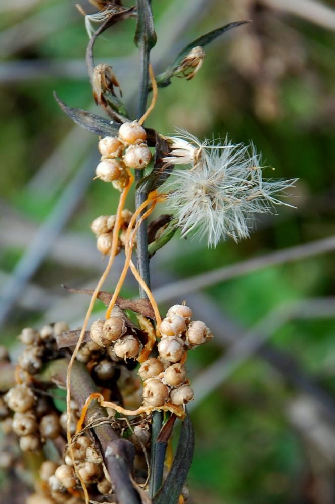Cuscuta scandens subsp. cesatiana 6