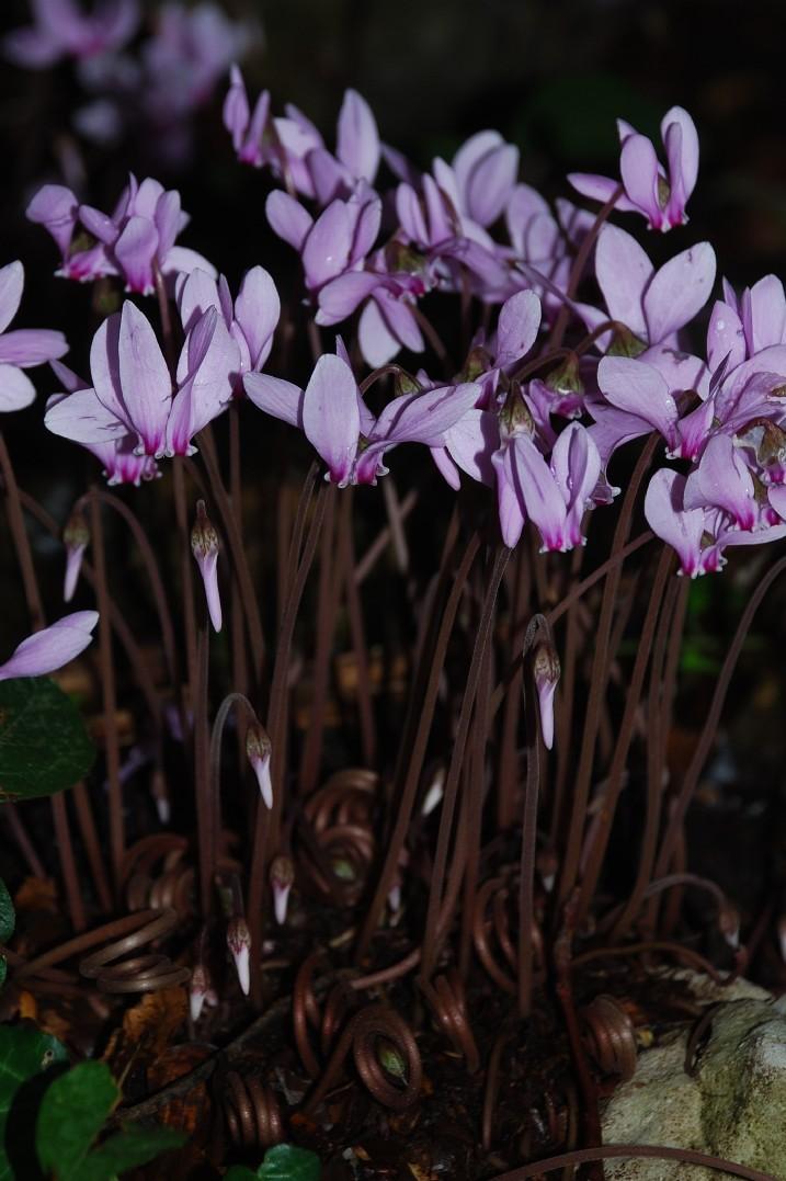 Cyclamen hederifolium 11