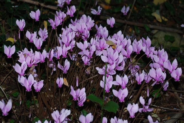 Cyclamen hederifolium 16