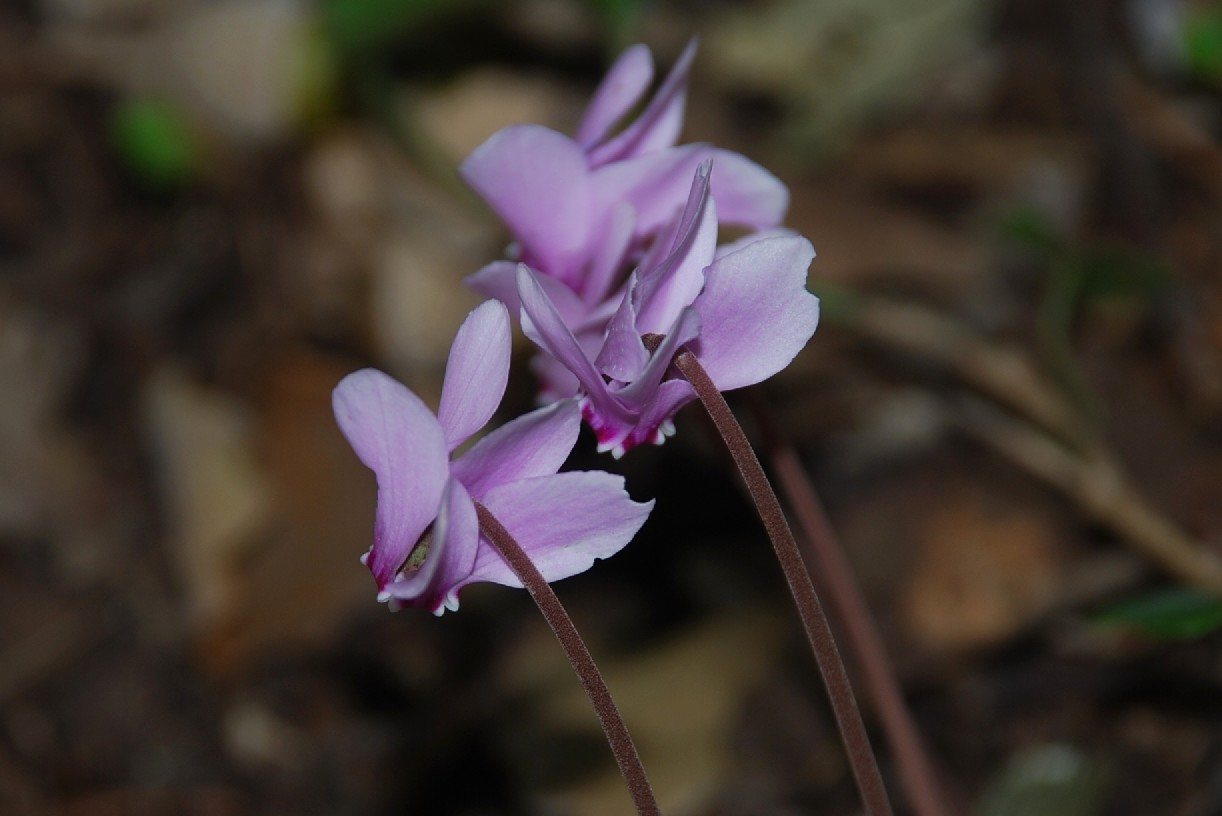 Cyclamen hederifolium 21