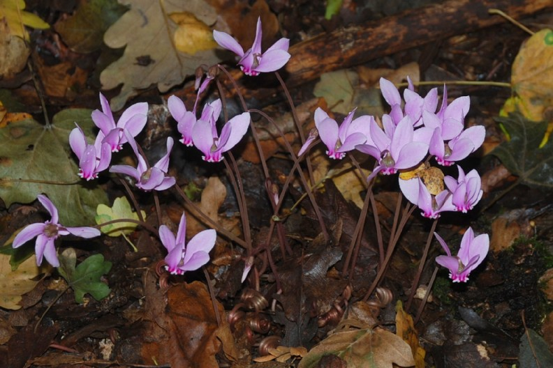 Cyclamen hederifolium 23