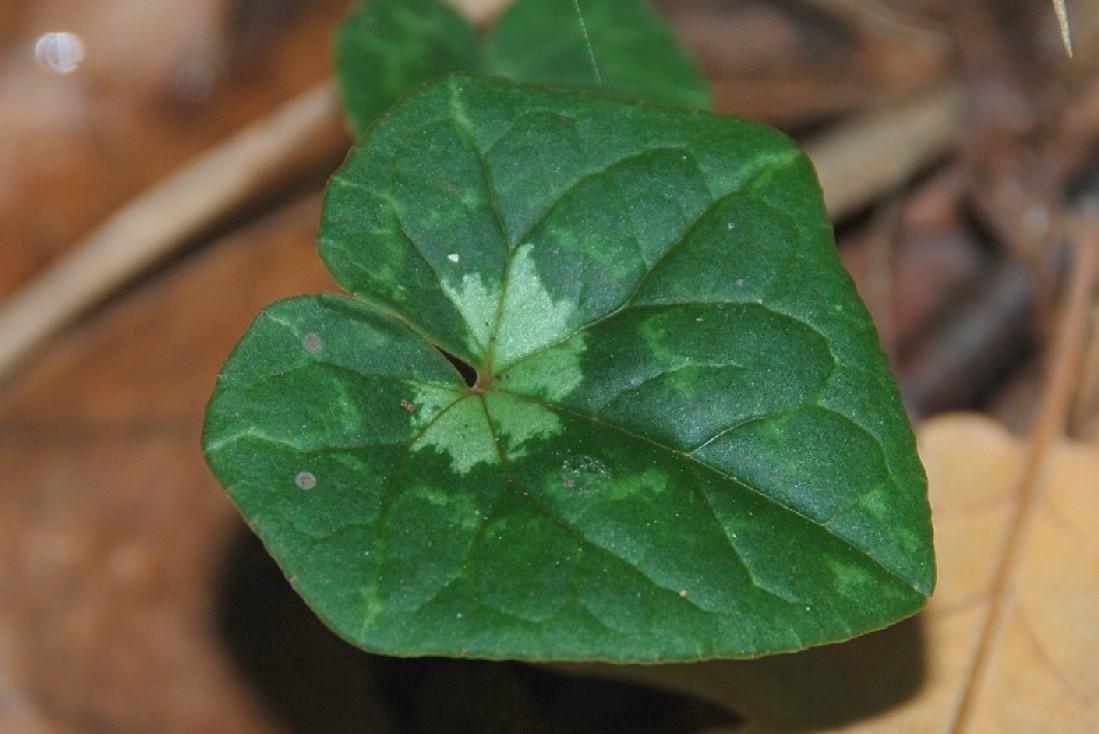 Cyclamen hederifolium 28