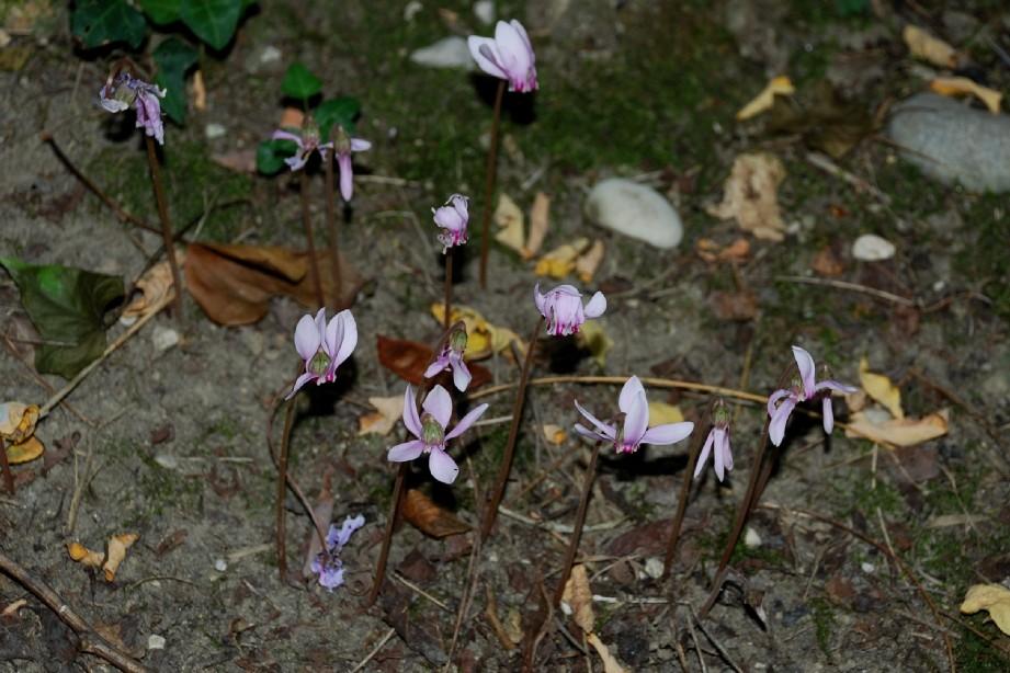 Cyclamen hederifolium 8